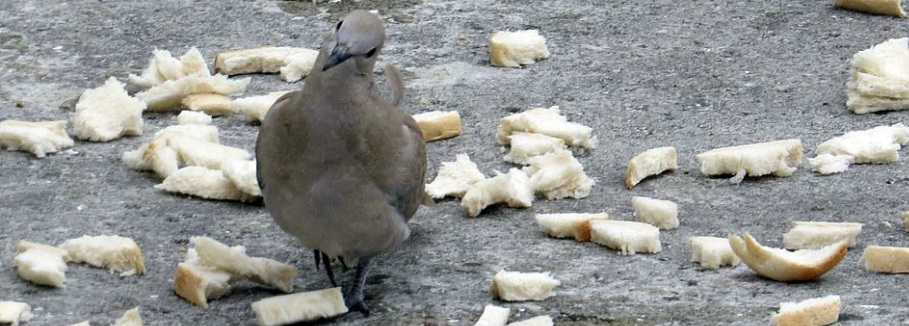 A pigeon surrounded by bread in Sheerness on Sea