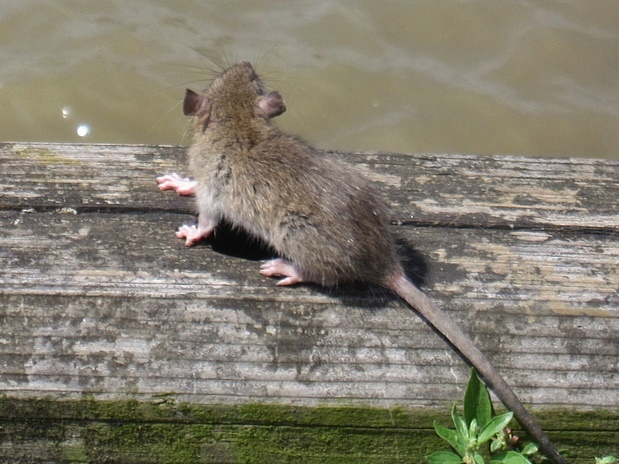 Picture of a rat beside the River Thames in Millwall on the Isle of Dogs on Paul Talling's guided walking tour