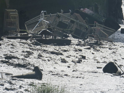 Dumped shopping trolleys in the River Medway near Rochester, Kent